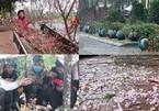 Người bán quất đào miền Trung co ro, dầm mưa rét đợi khách