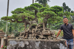 """The $1-million ficus tree of the """"Artisan of Southeast Asia"""""""