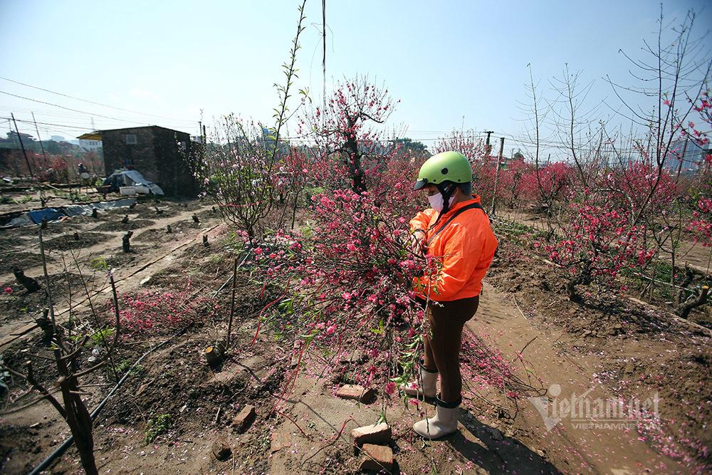 Đào Nhật Tân đỏ thắm ngày 30 Tết, chủ vườn phát cành chờ vụ mới