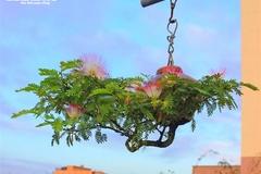 Chiêm ngưỡng vườn bonsai mọc ngược của 'dị nhân' xác lập kỷ lục Việt Nam
