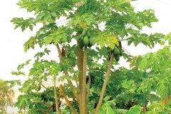 Cây đu đủ 5 nhánh lạ nhất miền Tây