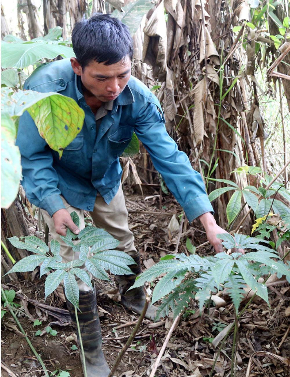 Khu vườn thuốc quý hiếm 'bí ẩn' trên núi, thương lái Trung Quốc đổ tiền săn lùng