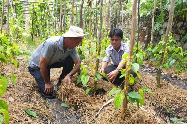 Cả làng ấm no nhờ trồng lá trầu để... xuất ngoại