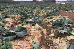 Nỗi đau giữa xuân mới: Ngàn tấn rau xanh ế hỏng đầy đồng