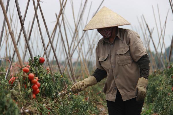 Người dân bần thần bên ruộng hoa màu phải nhổ bỏ ở TP Chí Linh