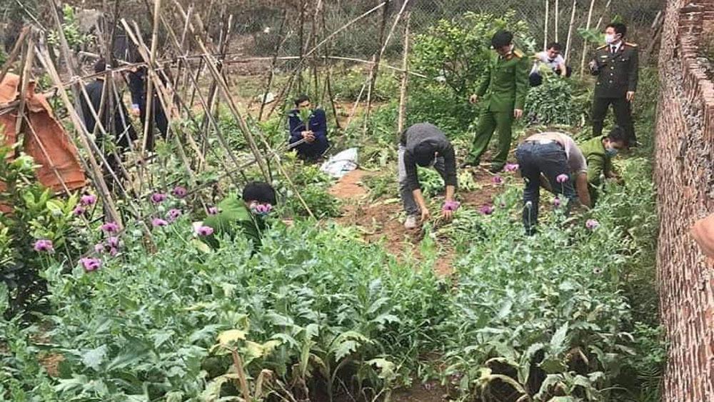 Bắc Giang: Một gia đình trồng gần 3.000 cây cần sa trong vườn