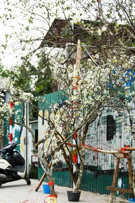 Hanoi,wild pear flowers
