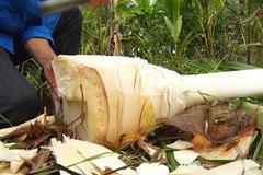 Trồng dừa rồi 'chặt bỏ', chàng trai trẻ đút túi mỗi năm gần trăm triệu