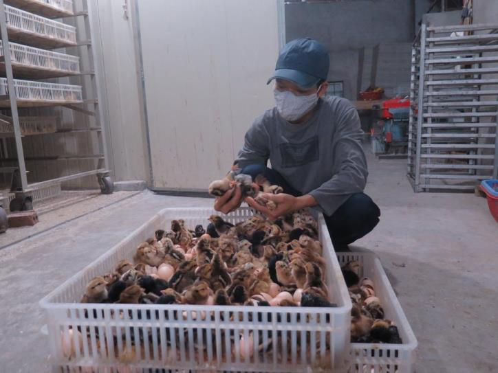 Hai Duong hotspot: unsold chickens are being used to feed fish