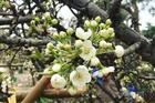 Hà Thành mua hoa lê chơi Rằm, dân buôn bán hết veo 1.000 cành