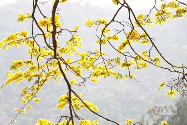 Danh thắng Yên Tử tràn ngập sắc vàng của 'Đại lão mai vàng'