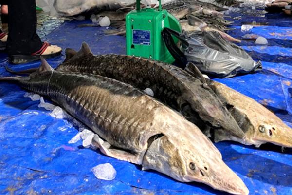 Mua cá tầm Trung Quốc mà tưởng hàng trong nước