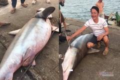 Cá mập gần 1,5 tạ mắc lưới, ngư dân Quảng Trị bán 18 triệu đồng
