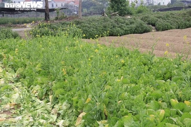 Hà Nội: Rau xanh rẻ như bèo, nông dân bỏ đầy đồng làm phân bón