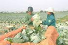 Bắp cải 2.000 đồng/cái không ai mua, dân Nghệ An bỏ thối đầy đồng