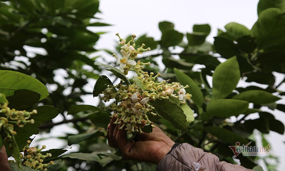 Đàn ông, đàn bà cả làng 'xe duyên' cho hoa, chờ ngày thu loại quả trăm triệu