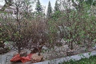Bí thư Thành ủy Huế vận động dân tặng đào sau Tết cho huyện miền núi