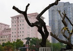 7 cây sưa đỏ quý hiếm trên đường Nguyễn Văn Huyên ở Hà Nội đã chết