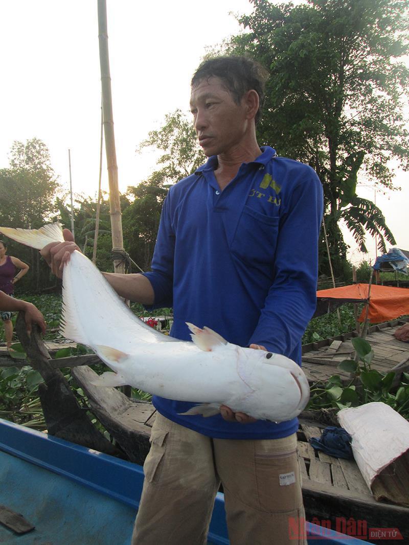 Loài cá bông lau khổng lồ, săn hàng hiếm bán giá cực rẻ