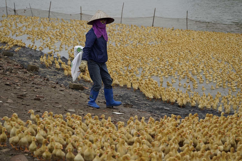 Đàn vịt giống hơn 10.000 con của nhà cô Vân sẽ được bán bớt đi sau những ngày phong toả thôn Kim Điền.