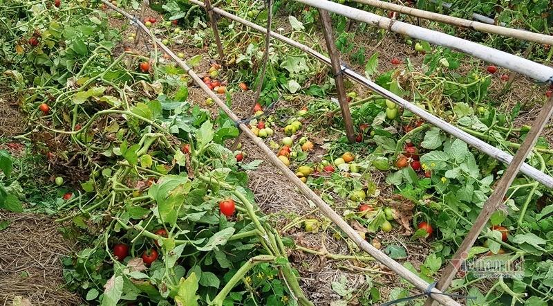 1.000 đồng 3kg cà chua, vứt thối đỏ ruộng, đổ cho cá ăn