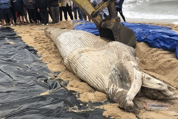 Excavator used to bury 1-ton whale in Quang Binh