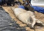 Dùng máy xúc an táng cá voi nặng 1 tấn dạt biển Quảng Bình
