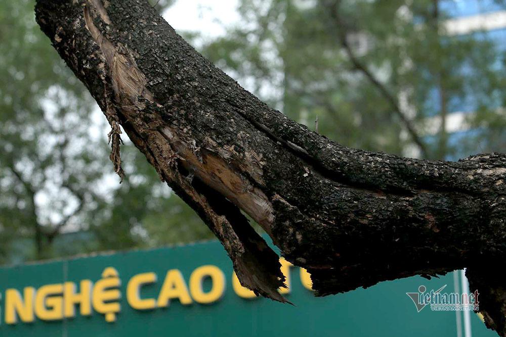 Số phận bảy gốc sưa quý hiếm chết khô giữa phố Hà Nội