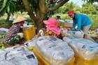 Kiên Giang: Nông dân lao đao vì xoài rớt giá thê thảm