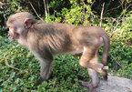 Da Nang City urges protection of endangered primate population