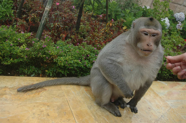 Da Nang,endangered primate,Son Tra peninsula,wildlife protection