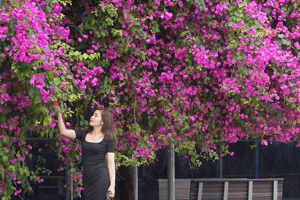 Giới trẻ trầm trồ trước cây hoa giấy 'hot' nhất Hạ Long