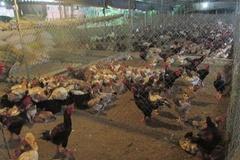 Chăn nuôi gia cầm theo tiêu chuẩn Vietgahp giúp giảm thiểu nguy cơ dịch bệnh