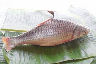 Đặc sản cá 'cậu ông trời' nguy cơ tuyệt chủng