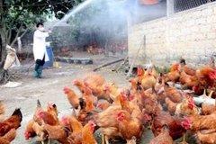 Cảnh giác cao để phòng tránh lây nhiễm cúm gia cầm sang người