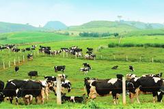 Cuộc sống 'thiên đường' của đàn bò sữa ở Mộc Châu