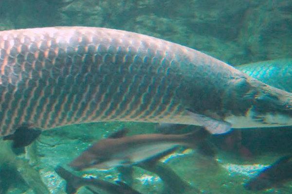 Độc đáo cá hải tượng khổng lồ dài hơn 2 mét ở TP.HCM