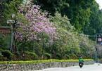 Về Hà Nội tháng 3, ngắm hoa ban, hoa sưa nở rực từng góc phố