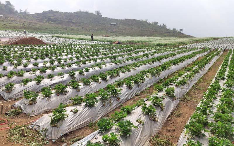 Dâu tây Mộc Châu sánh ngang đồ Nhật, về Hà Nội giá vip 1 triệu đồng/kg