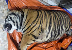 Traffickers in tigers pays heavy price for illegal activities