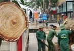 Cận cảnh loạt cây xanh 'trái tim thành Vinh' bị đốn hạ làm phố đi bộ