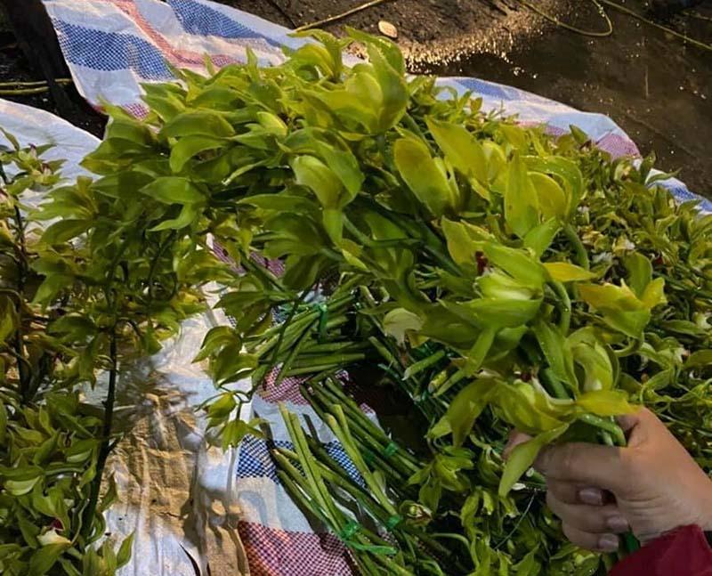 Loài lan quý chỉ nhà giàu mới dám chơi, nay đổ đống bán rẻ như rau