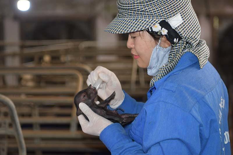 Lần đầu tiên Việt Nam nhân bản thành công lợn Ỉ
