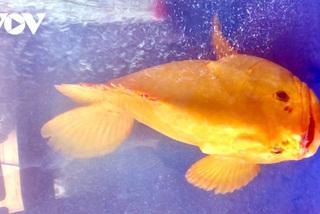 Cá mú vàng óng 200 triệu, hải tượng khổng lồ dài 2 mét