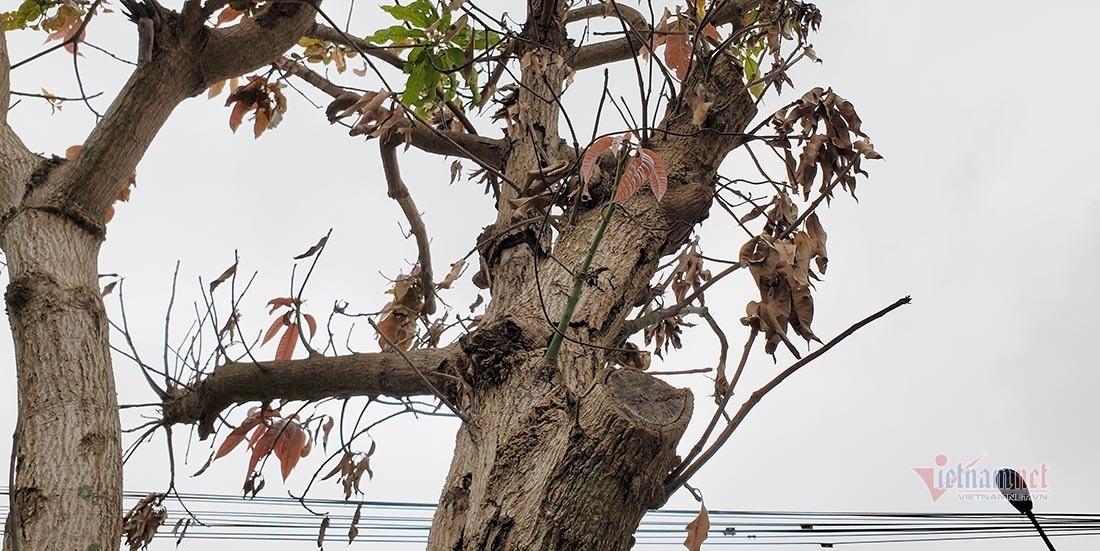 """Hàng cây xanh ở """"trái tim thành Vinh"""" bị chết khô ven đường"""