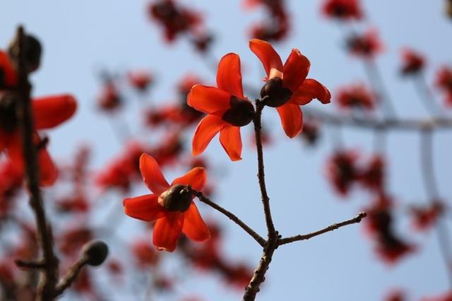 Ngắm cây hoa gạo cổ thụ trước sân đền hàng trăm năm tuổi