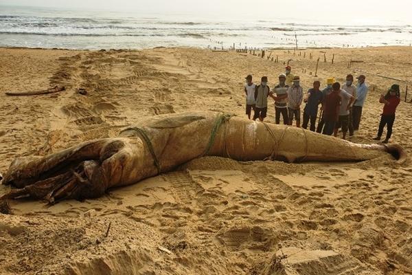 Cá voi dài 8m, nặng 4 tấn trôi dạt vào bờ biển Quảng Nam