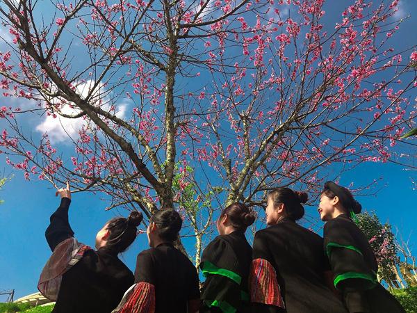 Rực rỡ sắc hoa anh đào Himalaya ở Sun World Fansipan Legend