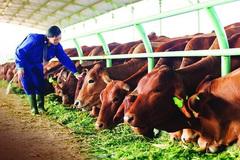 Những 'đại gia' đột ngột chuyển sang nuôi bò