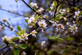 Bán 2.000 cành hoa rừng Tây Bắc, dân buôn hốt bạc triệu mỗi ngày